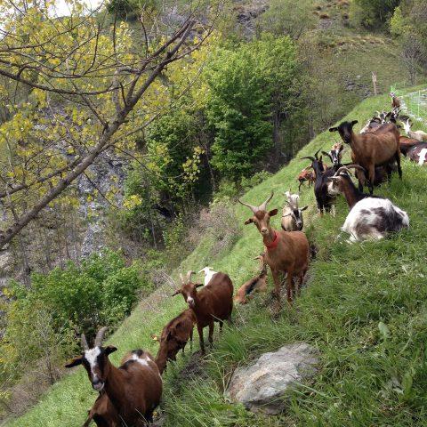 Chèvres de la ferme des Molières
