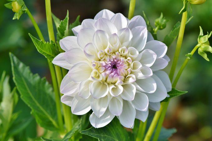 Fleur – Villar d'Arène – La Grave